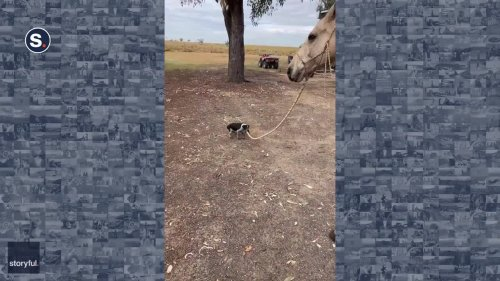 Puppy Takes Horse on a Walk at Queensland Cattle Farm