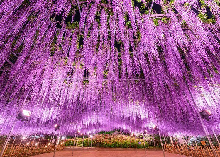 Hysteria for Tokyo's Mysterious Wisteria!