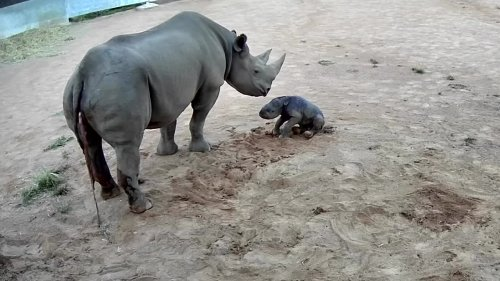 New-born rhino calf takes first wobbly steps in Australian zoo