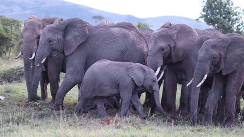 Elephants Surround New Born for Protection
