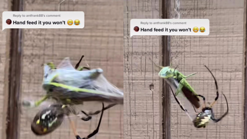 ''Tell me he didn't just do that!' Texas man hand-feeds his banana spider '