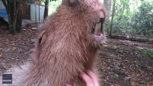 Adorable Capybara Enjoys a Good Old Scratch at Wildlife Sanctuary