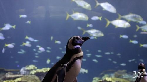 Shedd Aquarium penguins take a field trip to the Wild Reef exhibit