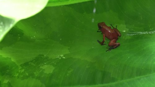Traveler Discovers Poisonous Red Frog