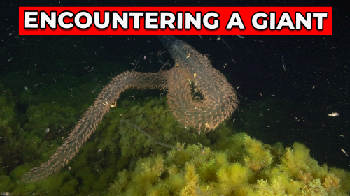 'Diver encounters a giant siphonophore while swimming in the Mediterranean Sea at night'