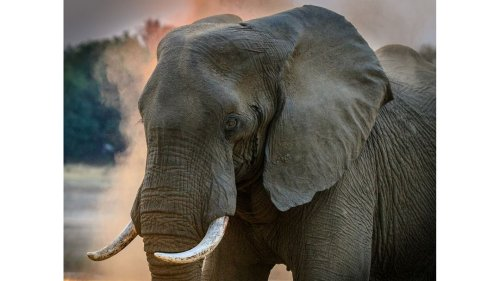 Do Elephants Experience Empathy?