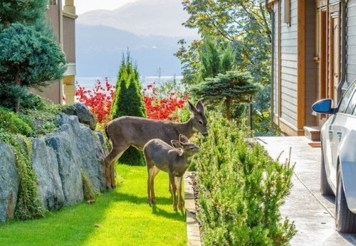 The Best Ways to Keep Deer Out of Your Yard and Garden