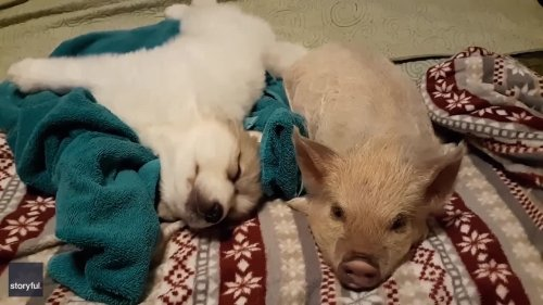 Hogs and Kisses: Pig Cuddles With Puppy at Tennessee Farm