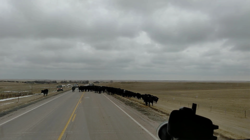 'Driver Impressed by Modern Cattle Drive on a Highway'