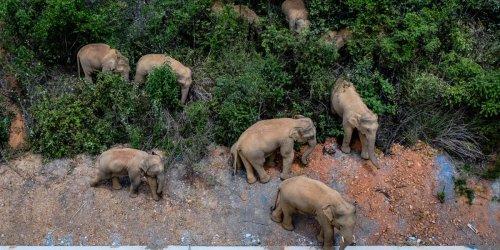 China's Wandering Elephants