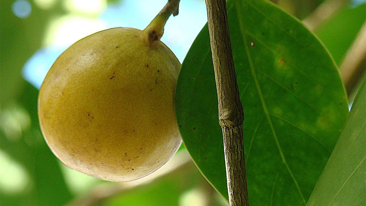 The Manchineel, or 'Death Apple,' Is the World's Most Dangerous Tree