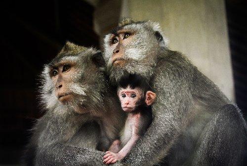 Debating the Ethics of Growing Monkey-Human Embryos