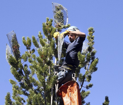 US: Mountain pine tree that feeds grizzlies is threatened