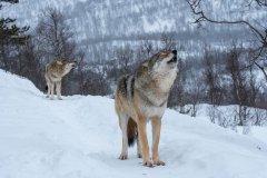 Discover endangered wolves