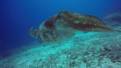 Flashy Cuttlefish Displays Color Change