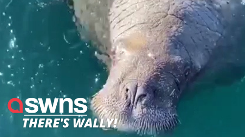 *NEW FOOTAGE* Wally the famous wandering Arctic walrus was filmed trying to BOARD A BOAT full of tourists (RAW)