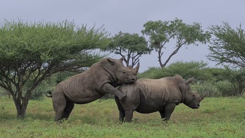 Young Rhino Attempts to Mate