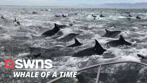 Stunning footage shows a whale and a pod of dolphins tucking into some food together