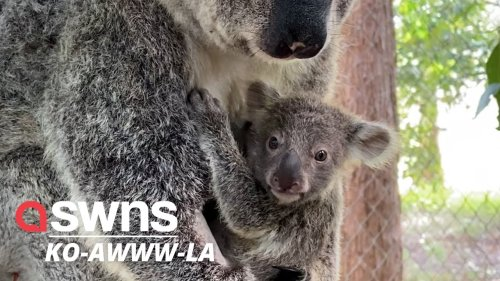 Blind koala and adorable baby rescued from death on the SIDE OF ROAD in Australia