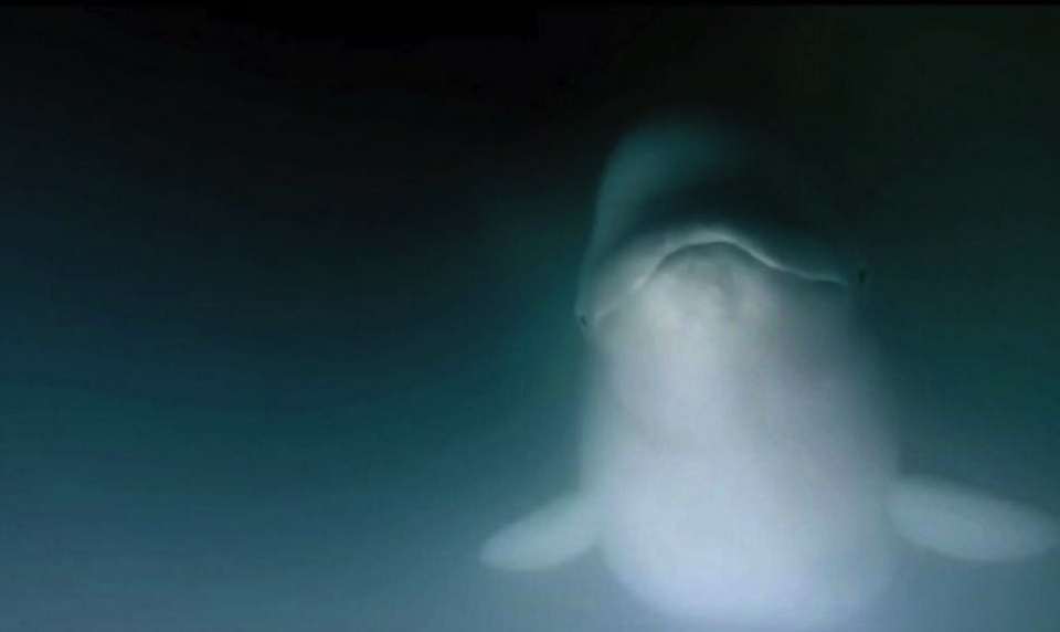 Canada - Don't be fooled by its Beluga Whales!