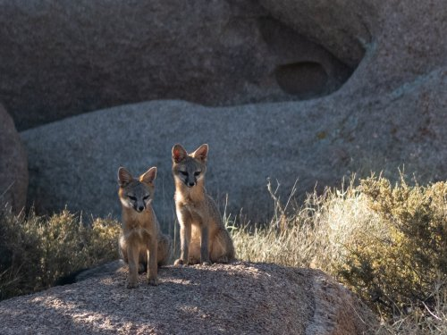 Gray foxes use bears as bodyguards!