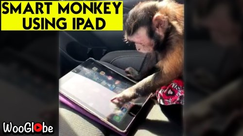 'Smart monkey using owner's iPad with utmost interest is the cutest thing you'll see today'