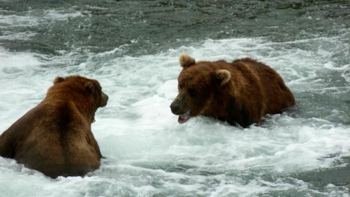 It's Peak Fat Bear Watching Season — Here's How (and Why) to Tune In 🐻