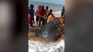 Heroic Citizens Try to Push Beached Whale Shark Back into the Water!