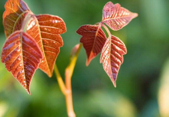 How to Identify—and Get Rid of—Poison Ivy in Your Yard