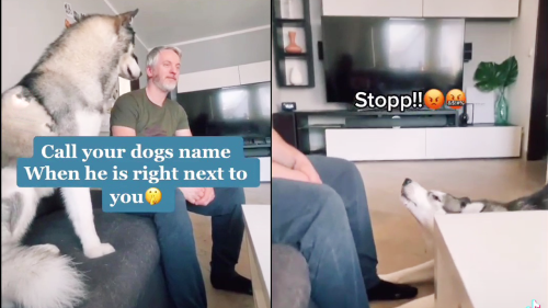 'Siberian Husky's Hilarious Reaction to the 'Call Your Dog' Challenge'