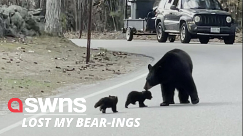 A mother bear and her two cubs stopped traffic as they crossed the road together