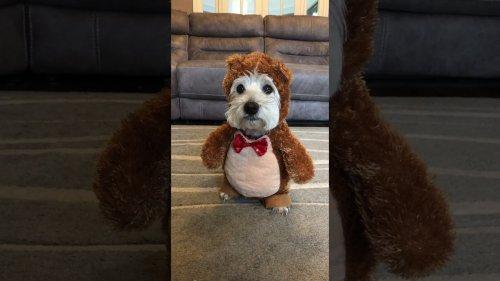 Dog in Funny Bear Costume Eats Treat