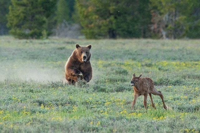 World's most famous grizzly takes down elk on camera