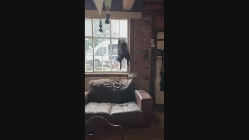 Hopping Mad: Kitchen Couch Gives Border Collie a Bounce