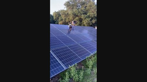 Giddy Goats Find Solar Panels Make the Perfect Playground at Florida Farm