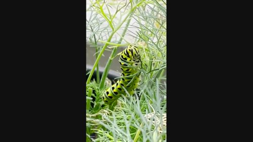 Very Hungry Caterpillar Makes a Meal Out of Woman's Dill Plant