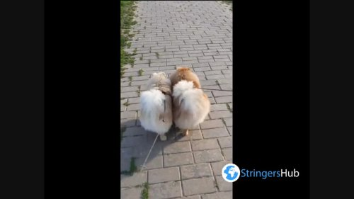 Two cute pomeranians synchronously wagging their tails, Mogilev, Belarus