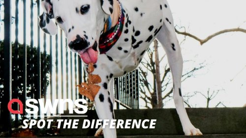 Abandoned Dalmatian puppy with THREE LEGS is rescued from destruction in US