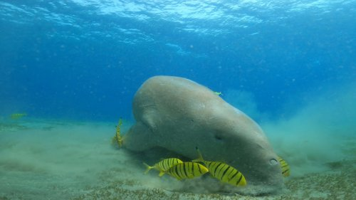 Dugong Searches for Food