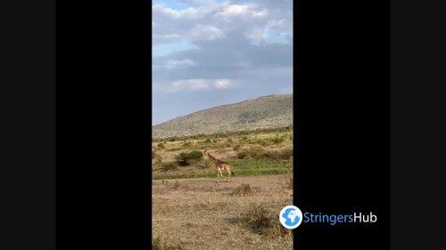 A beautiful Masai giraffes walking at Serengeti National Park, Tanzania
