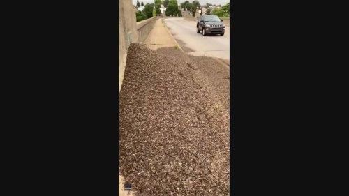 Massive Mound of Dead Mayflies Found on Pennsylvania Bridge