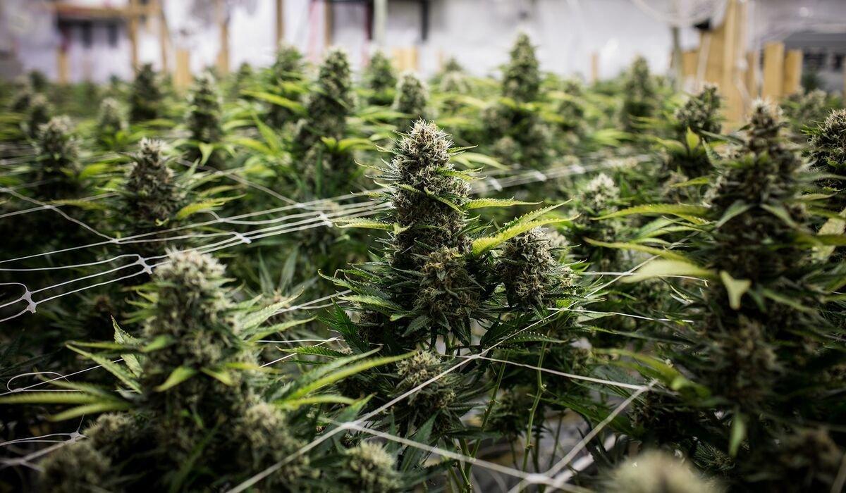 Inside the Senate's Budding Bid for Legal Weed
