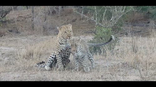 Leopards Perform Ritual Before Mating