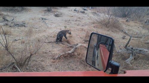 Game Warden Encounters Cute Hyena