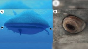 Eyeball Teeth  The World s Largest Shark Found to Have Just That