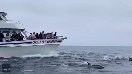 Dolphins Stampede Alongside California Whale Watching Boat
