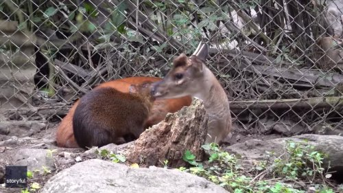 Deer and Rodent Best Friends Snuggle in Bolivia