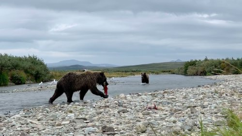 Grizzly Bears Fish for Salmon in River