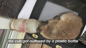 Fox Cub Outfoxed by Plastic Bottle That Got Stuck on Its Head!