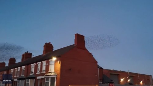 Murmuration of Starlings Creates Hypnotic Patterns in Leicestershire Sky